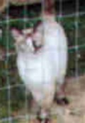 "Here is ""Gertrude"", my beloved furniture truck rescue kitty, all grown up!  This is not the best pic, but the only.  She loved ""Joe"", my Chocolate Lab, and here she had jumped into his pen to be with him!  They were bosom buddies!  I adored this kitt"