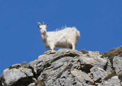 Wild goat on the Great Orme