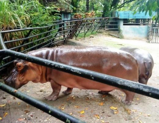 Mama Hippo & Baby Hippo