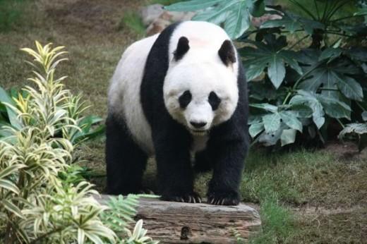 Cute Panda!