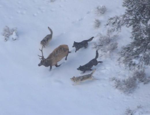 Wolves hunting an elk