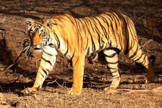 Nice tiger......