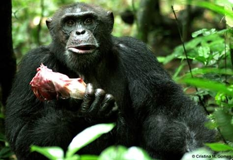An adult male chimp holding the rib case of a colobus monkey