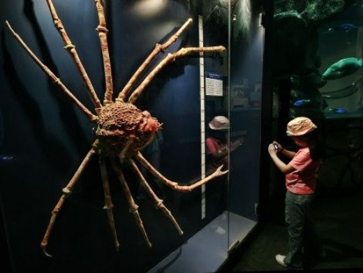 The Japanese Spider Crab