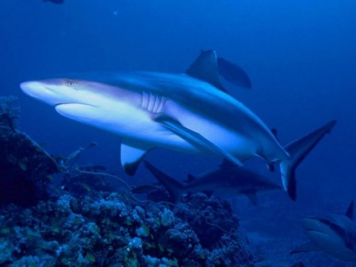 The Grey Reef Shark