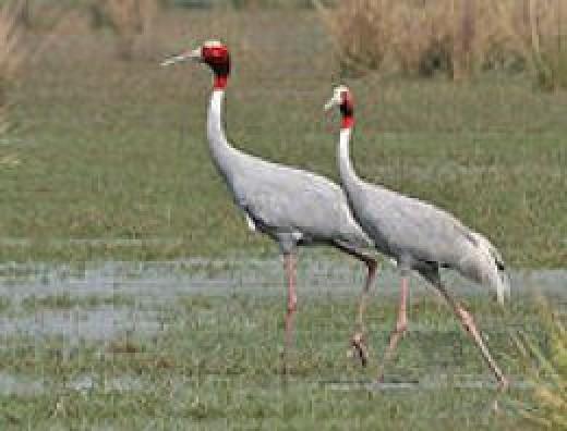 Sarus crane Image courtesy Wikipedia