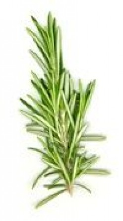 Rosemary Herb: Facts and Lore About the Rosemary Plant