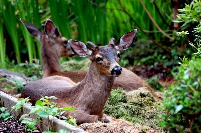 Oregon Black Tail Deer