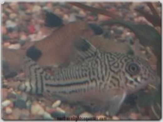 Coryadoras Catfish