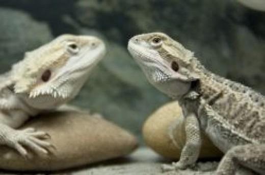 Choose a Healthy Bearded Dragon