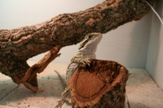 Give Your Bearded Dragon an Awesome Perch