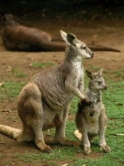 Kangaroos: Facts, Pictures, and Gift Ideas