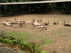 kangaroos lounging in the afternoon shade