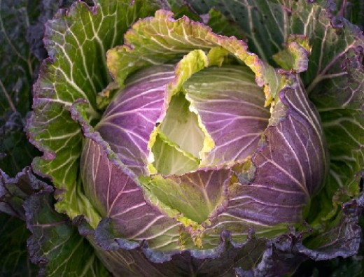 Cabbage natural cure for ulcer