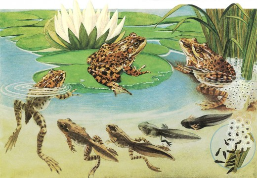 Frog Life Cycle - Used under Creative Commons