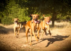 Q&A: What do you feed your Rhodesian Ridgeback?