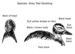 Grey Teal - Duckling
