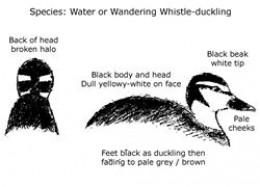 Wandering Whistling Duck - Duckling