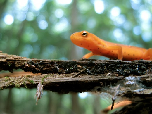 Red Eft (Notophthalmus viridescens) - Used under Creative Commons