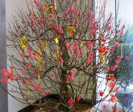 Cherry Blossoms for TET Festival
