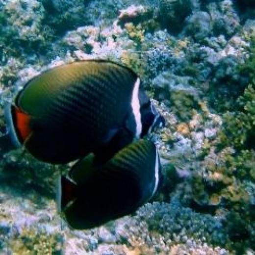 Fish in Maldives