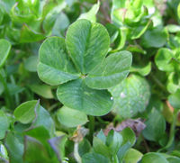 Finding a rare four-leaf clover is a sign of good luck