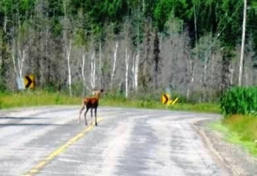 Deers on the Road to Rosseau