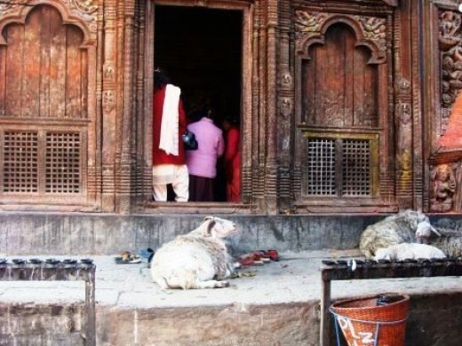 Sheep are offered at the temple