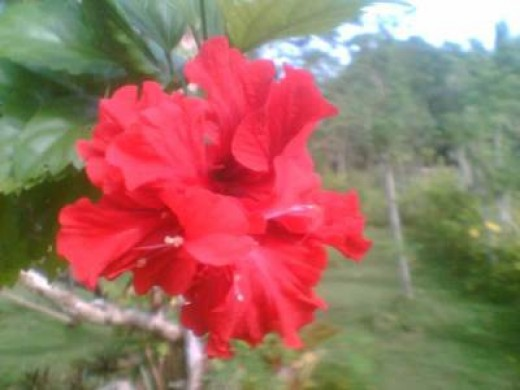 A double-petaled red hibiscus from my mom's garden