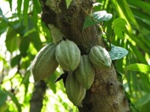 Cacao pods growing on a cacoa tree.