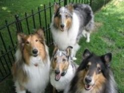 Types of Collies