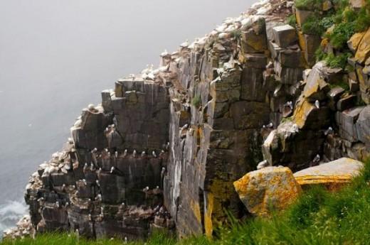 Northern Gannet.