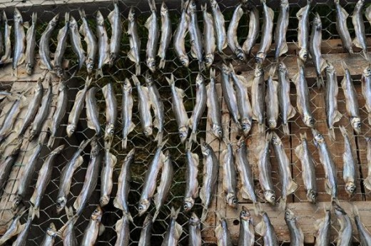 Capelin drying in the sun.