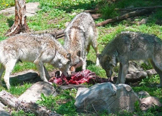 The wolves will bite into the intestines and vigorously shake them to remove the wood chips before eating the intestine walls which contain vital nutrients.