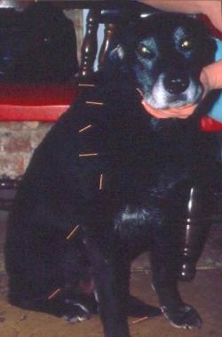 Labrador acupuncture