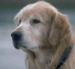 Can A Dog Live A Normal Life With Hip Dysplasia