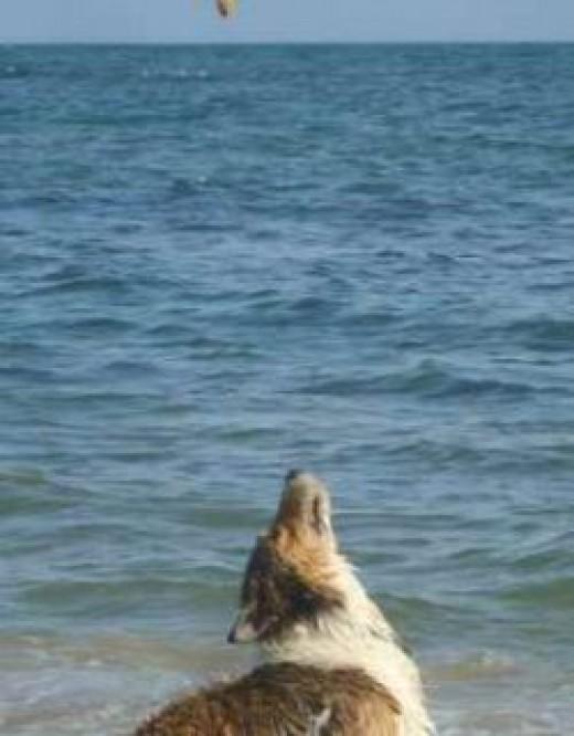 Dog awaiting ball