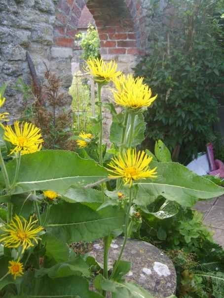 Elecampane - traditional expectorant and respiratory system medicine - do not use during pregnancy