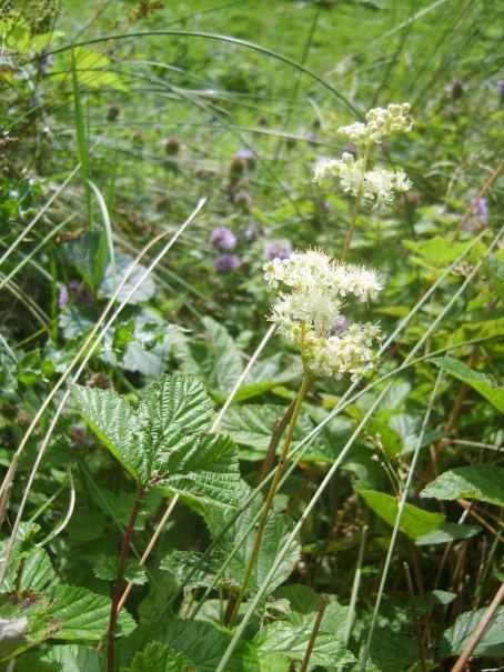 Meadowsweet - like Willow, it contains salicylic acid, the precursor of Aspirin - anti-inflammatory and antirheumatic