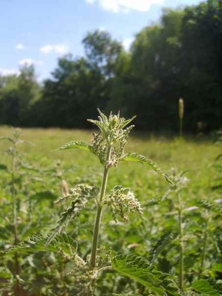 Nettle - wild food - a traditional diuretic and skin treatment - also used in cases of malnutrition