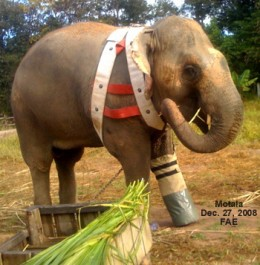 My favorite elephant, who was injured, was helped by the people of Thailand,received an artificial foot and smiled.