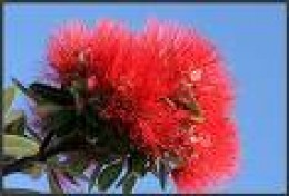 New Zealand Pohutukawa Flower