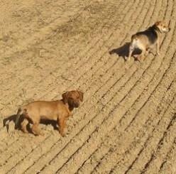 Dog Breeds: Chiweenie   Dachshund