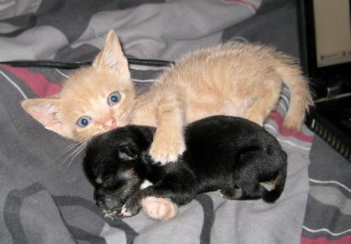 puppy and kitten hugging