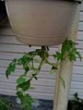 see how the tomatos are turning around.