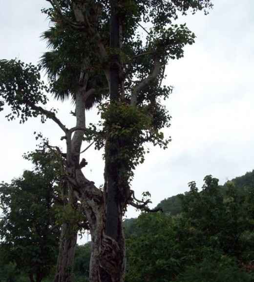 Strangely tangled multiple trees...