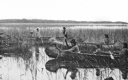 Harvesting Minnesota Wild Rice