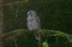 Owls of Vancouver Island