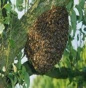 bees nested in tree