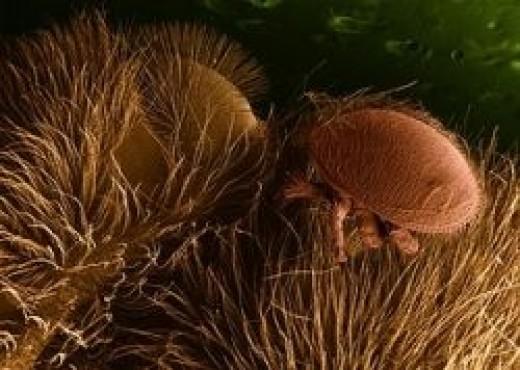 Varroa on a bee